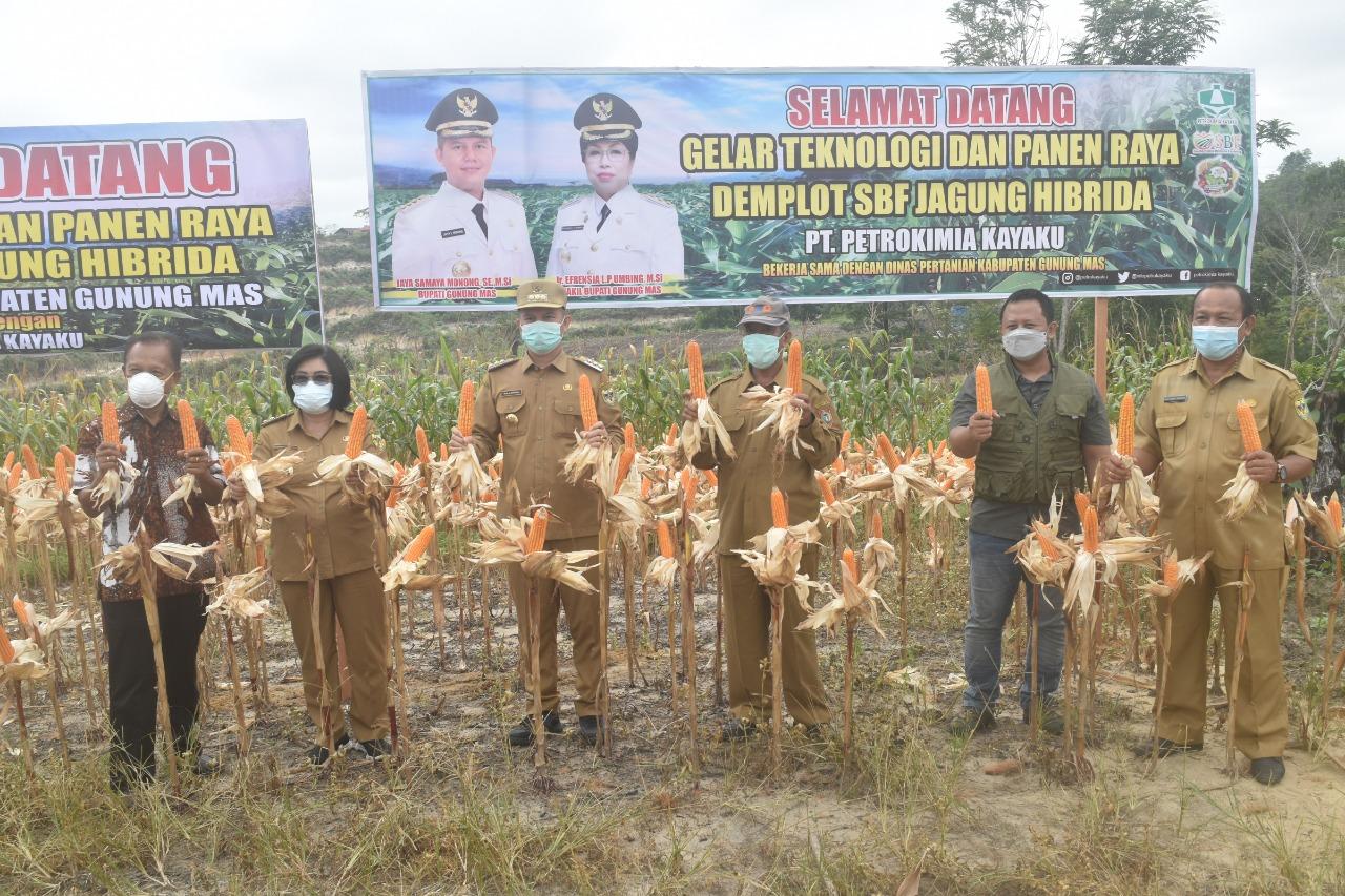 Bupati dan Wakil Bupati Gunung Mas Panen Jagung Hibrida di Lahan Milik Kelompok Tani (poktan)