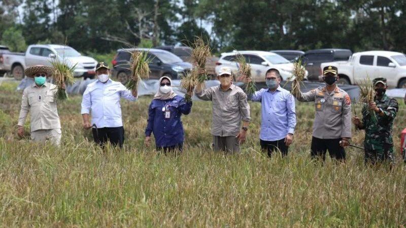 Wakil Gubernur Kalteng Panen Padi di kawasan Food Estate yang berada di Rey 28 Belanti Siam,
